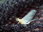 Sulphur Dun (e.dorothea)